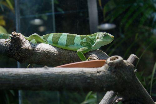 iguana banded fiji iguana green
