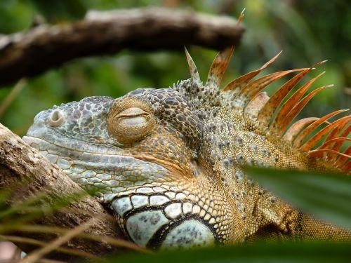 iguana lazy reptile