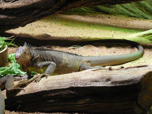 iguana bluish  animal  zoo