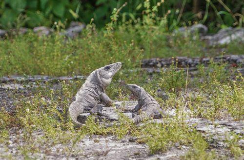 iguanas lizards tropical