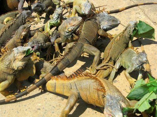 iguanas animals iguana
