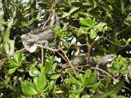 iguanas reptiles bonaire
