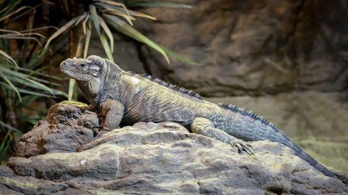 iguanas rhinoceros iguana cyclura cornuta