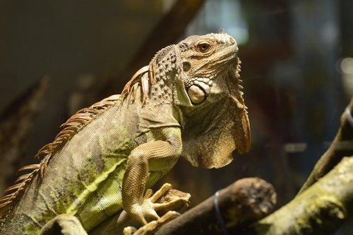 iguanas  squamata  animal