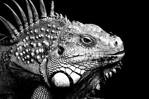 iguanas  background  black and white