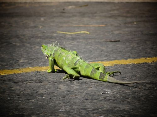 iguanas nature reptile
