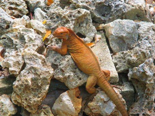iguanidae lizard iguana
