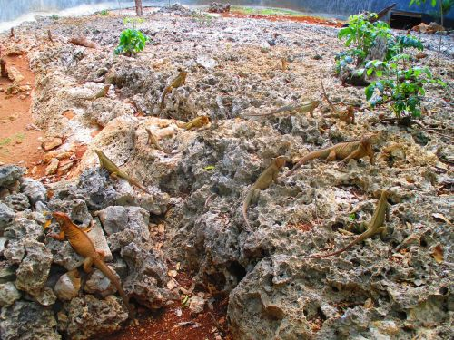 iguanidae lizards rocks