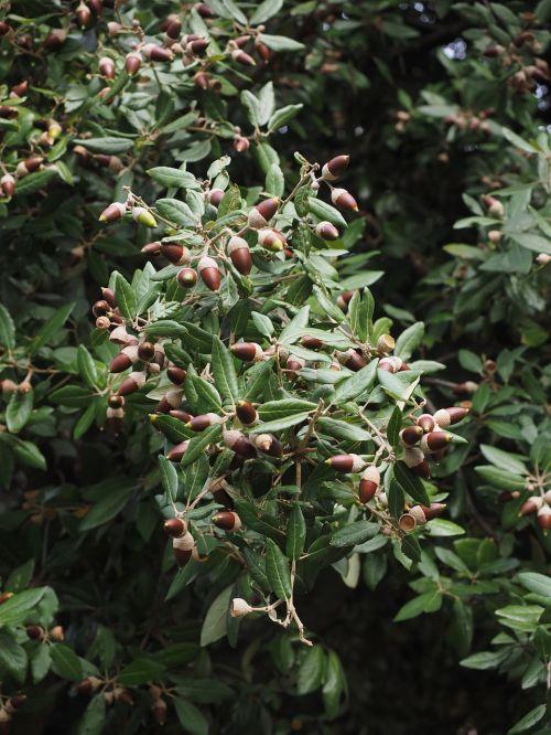 ilex acorns tree