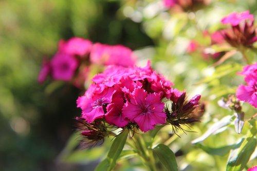 œillet  sweet william  flowering