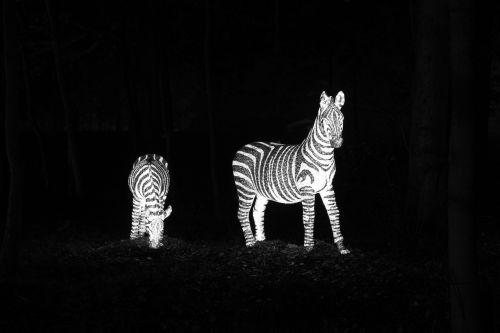Illuminated Zebras