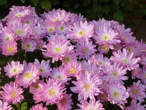 小菊 chrysanthemum pink