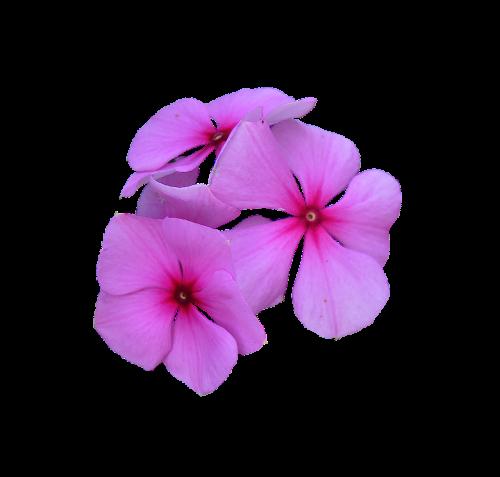 image cropped pink flowers petal