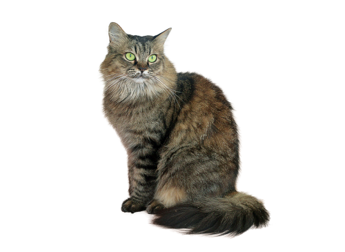 image cropped cat tabby cat