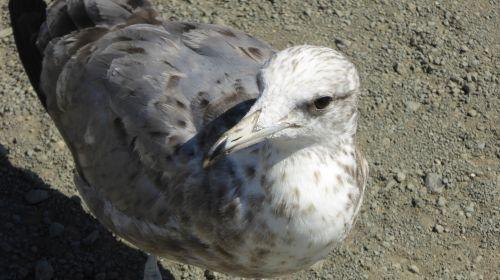Immature Seagull