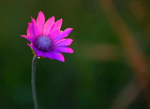 immortelle flower mov