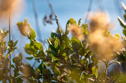 immortelle sky plant