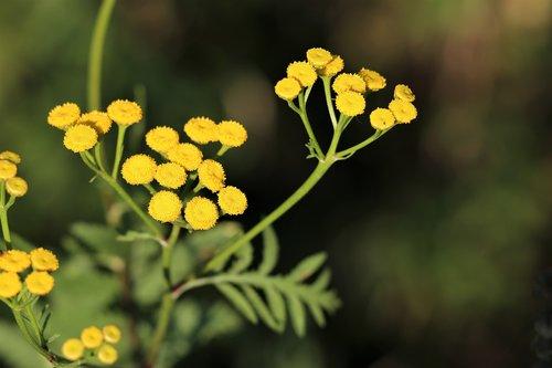 immortelle  helichrysum  flower
