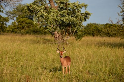 impala springbok africa