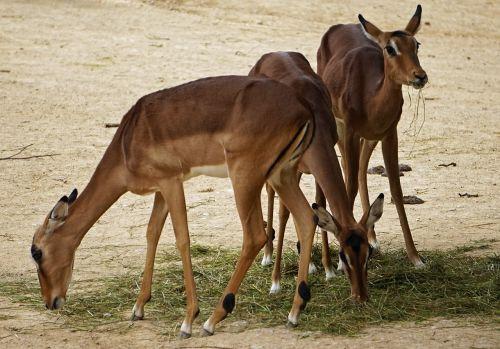 impala zoo pack