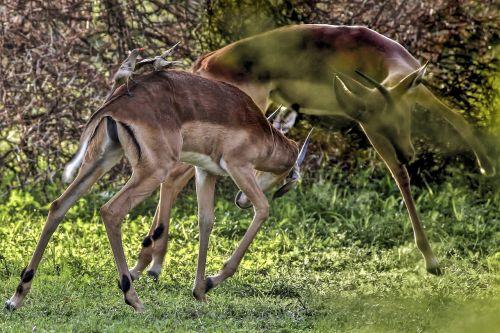 impala wild animal