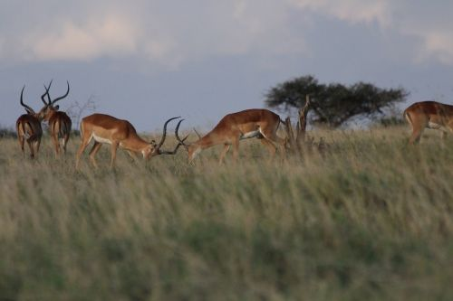 impala fight kenya