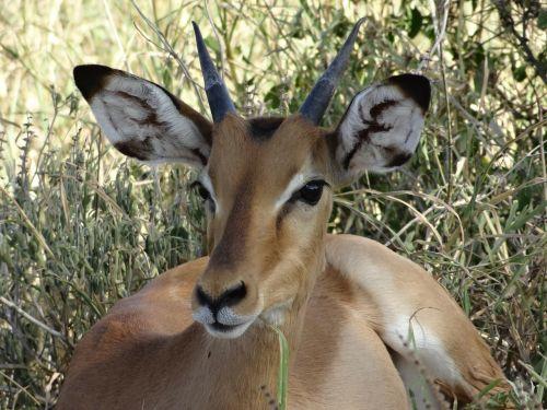 impala savannah nap