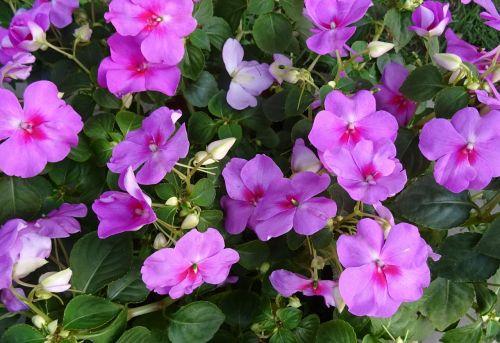 impatiens impatiens walleriana flower