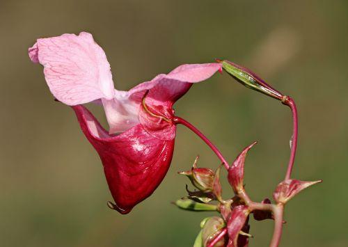 impatiens glandulifera balsam flower