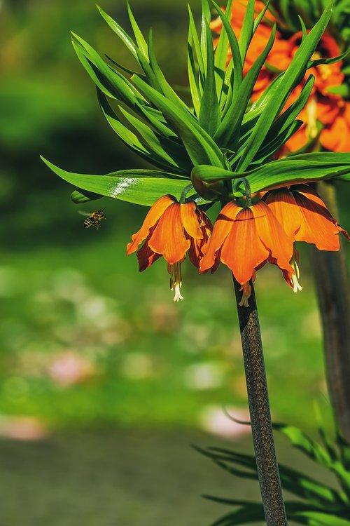 imperial crown  fritillaria imperialis  fritillaria