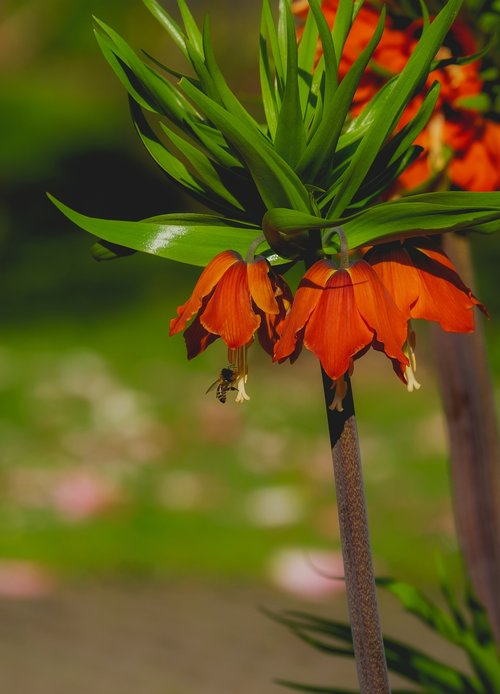 imperial crown  flower  plant