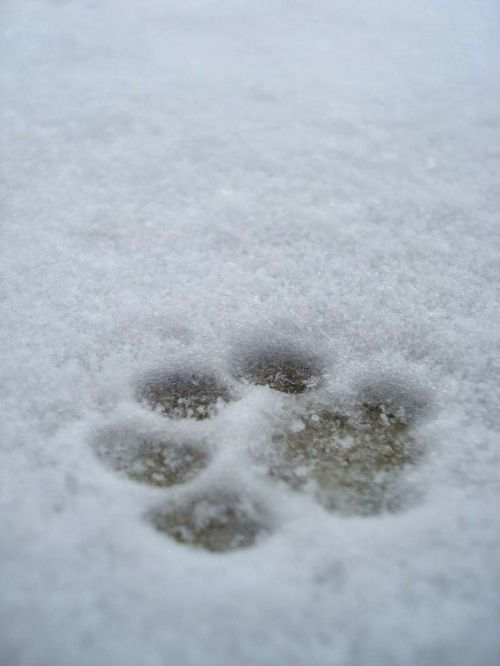 imprint paw print snow