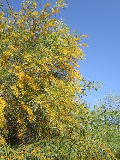 improper mimosa mimosa yellow
