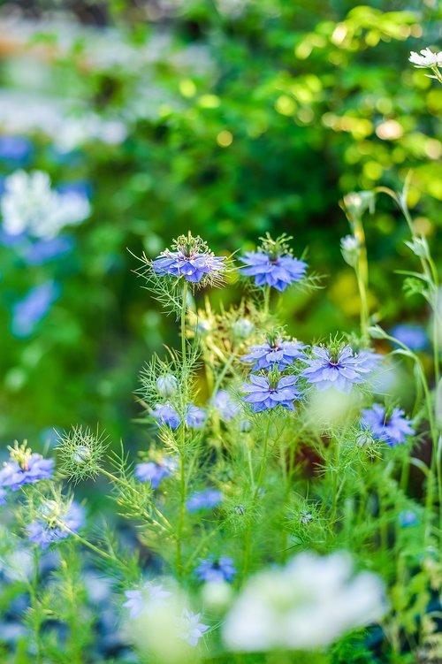 in the early summer  nigella  garden