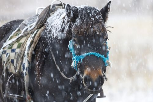 in the winter horse snowfall