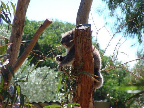 gyvūnų pasaulyje,koala,australia,gyvūnai australia