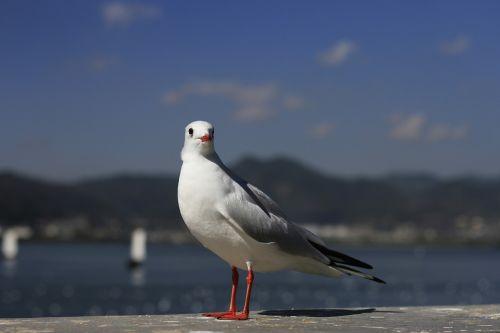 in yunnan province dianchi lake black-headed gull
