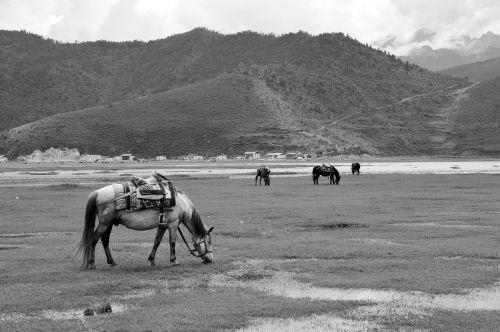 in yunnan province prairie horse