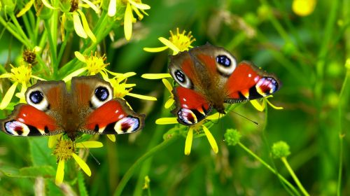 inachis io butterfly butterfly peacock
