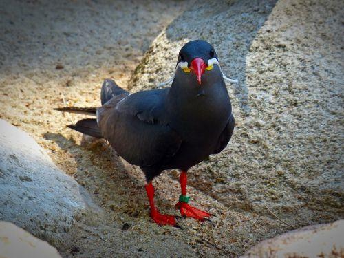 inca tern schwalbe bird