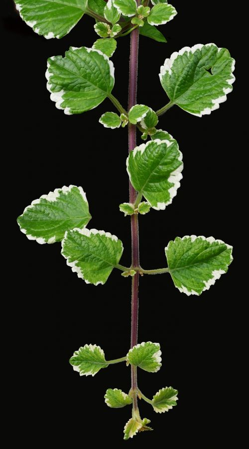 incense plant,moth king,fragrant,aromatic,container plant,hanging plant,plectranthus coleoides,plant,flower,white flowers,foliage,flora