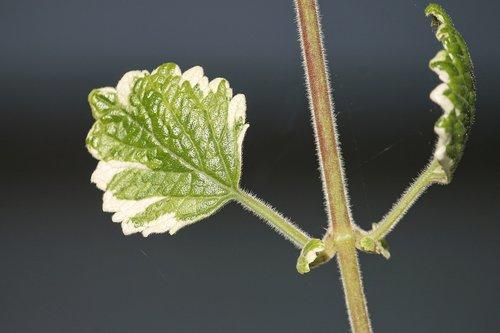 incense plant  plectranthus coleoides  balcony plant