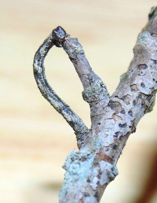 inchworm worm nature