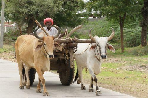 india ox karre rajasthan