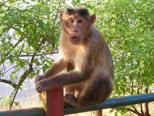 Indija,beždžionė,laukiniai
