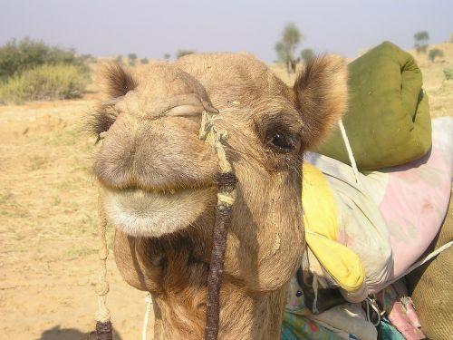 india camel desert