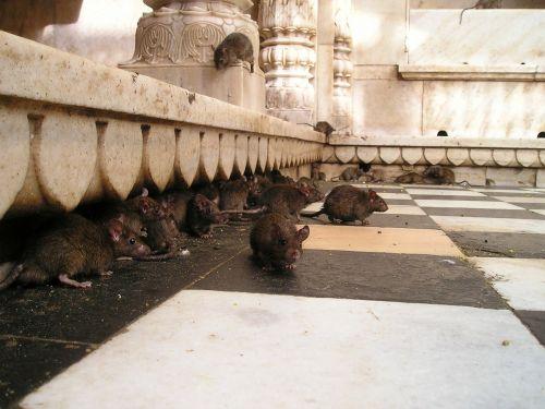 india rat temple rat