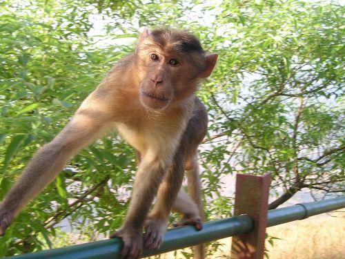 india monkey wild