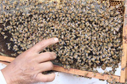 Indija,bičių,Bitė motinėlė,medus,vabzdys