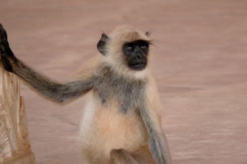 Indija,gintaras,beždžionė,gyvūnas,laukinis gyvūnas,žinduolis,jaunas gyvūnas